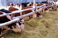 Итоги работы животноводства Богородского района в 2011 году
