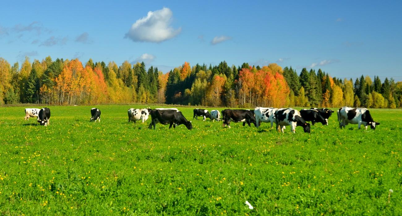 пастбища для коров фото